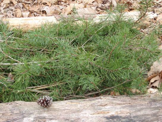 Survival Skills: How To Make An Evergreen Bough Bed