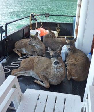 When Deer Take a Dip