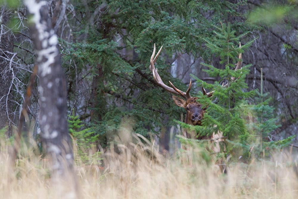 bull elk in heavy foliage cover