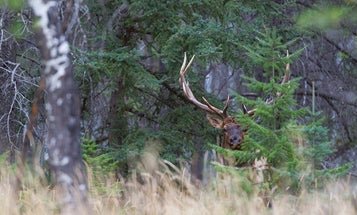 How to Hunt Public-Land Elk in Dark Timber
