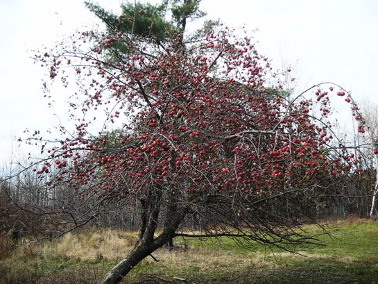 Deer Scouting Tips: Identify Fruit Trees Now