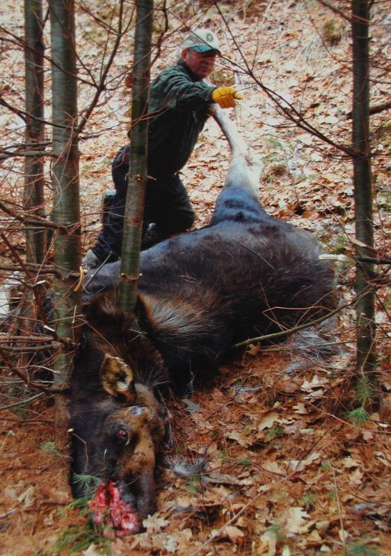 Moose Killed by Two Trees Standing Close Together …  Wait, What?
