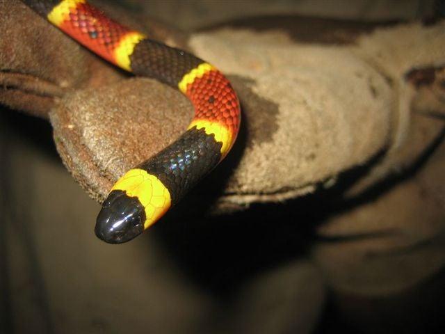 httpswww.outdoorlife.comsitesoutdoorlife.comfilesimport2014importImage2010photo3001032coral-snake.jpg
