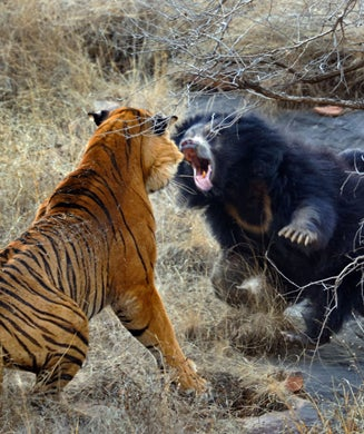 Photos: Mother Bear Fights Off Tiger