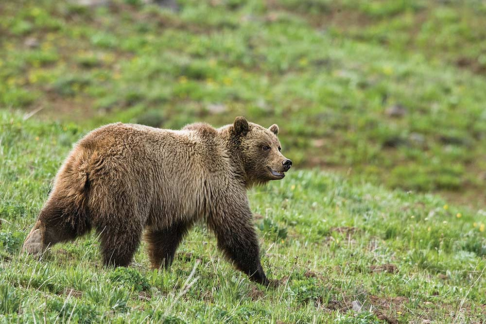 young grizzly bear walking through mount washburn of yellowstone national park