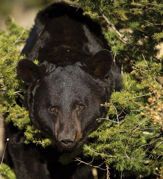 How to Hunt Bears Without Bait or Dogs