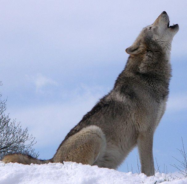Wolf Hunt Canceled, Debate Rages On