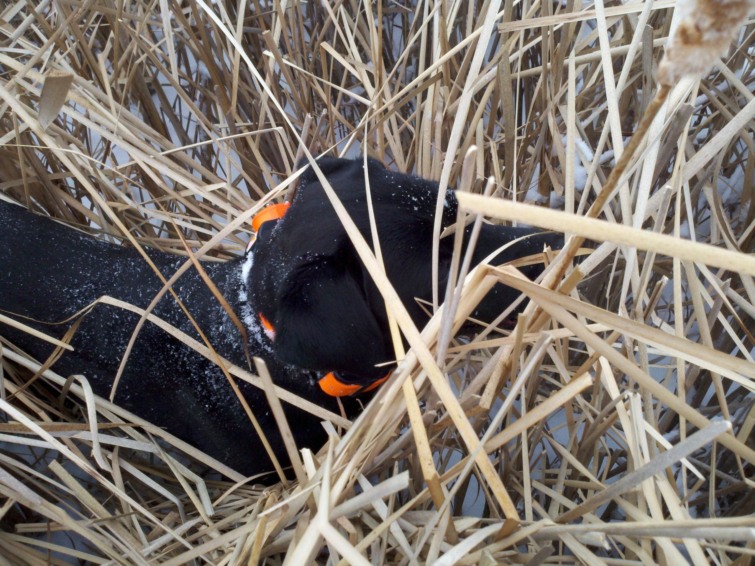 Dec. Pheasants: It's All About Habitat