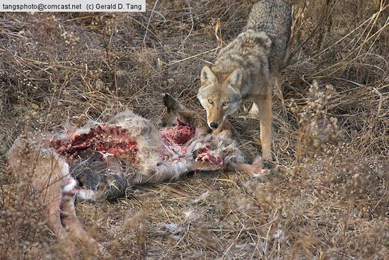 Are Coyotes Killing Your Deer?