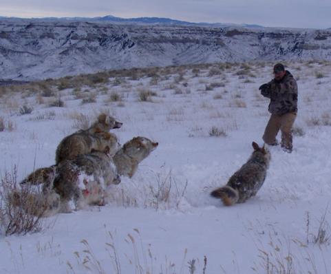 httpswww.outdoorlife.comsitesoutdoorlife.comfilesimport2014importImage2009photo64._coyote_showdown_.jpg