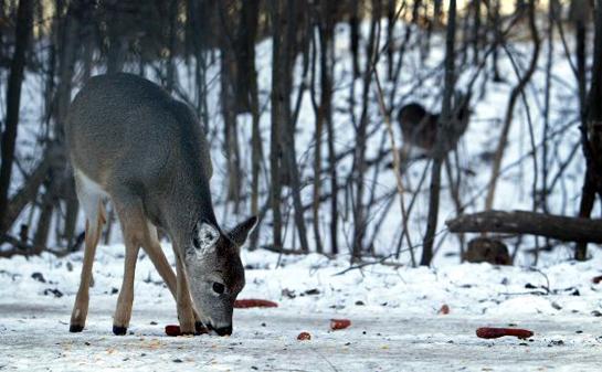Officials to Stop Minnesota Emergency Whitetail Feeding Plan