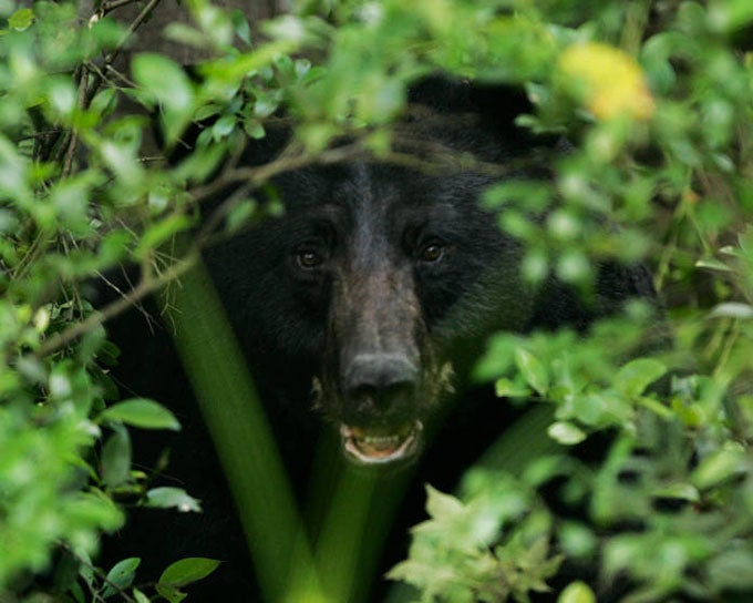 New York Expands Black Bear Hunting Statewide