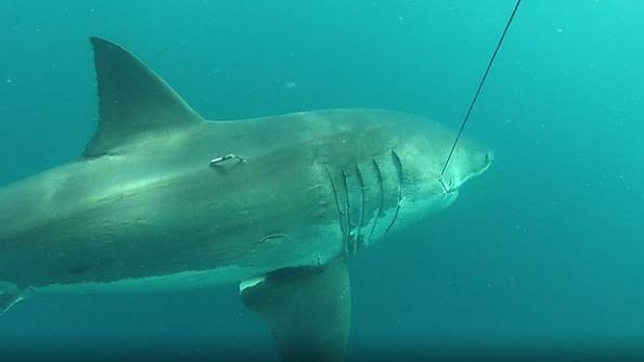 Researchers Tag 3,500-Pound Great White Shark in Australia