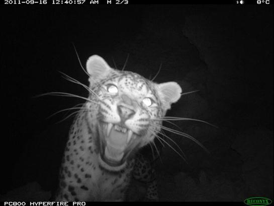 Biologists Capture Rare Persian Leopard on Camera in Afghanistan