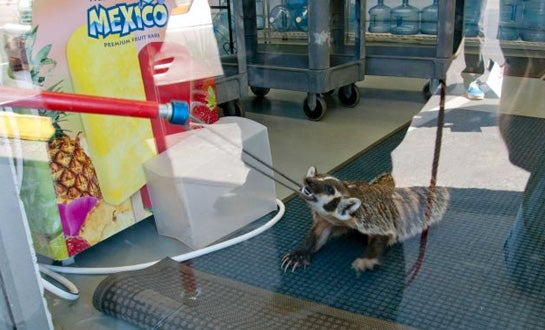 Badger Wanders into Nevada Retail Store, Takes on Wildlife Officials in '1-Hour Standoff'