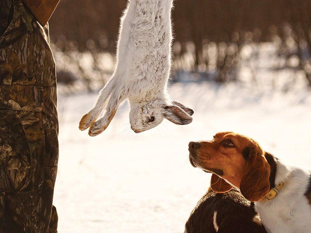 beagle hare rabbit dog