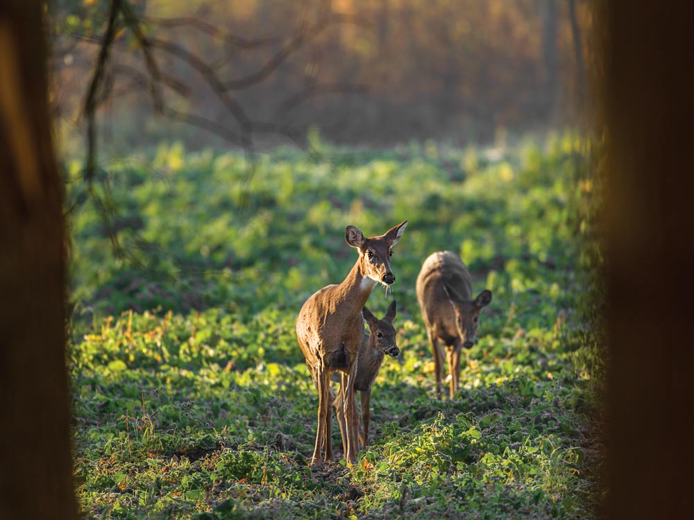 does and fawn grazing for acorns