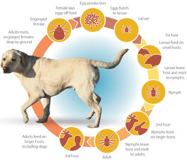 httpswww.outdoorlife.comsitesoutdoorlife.comfilesimport2014importImage2009photo7Dog-Tick-Lifecycle.jpg