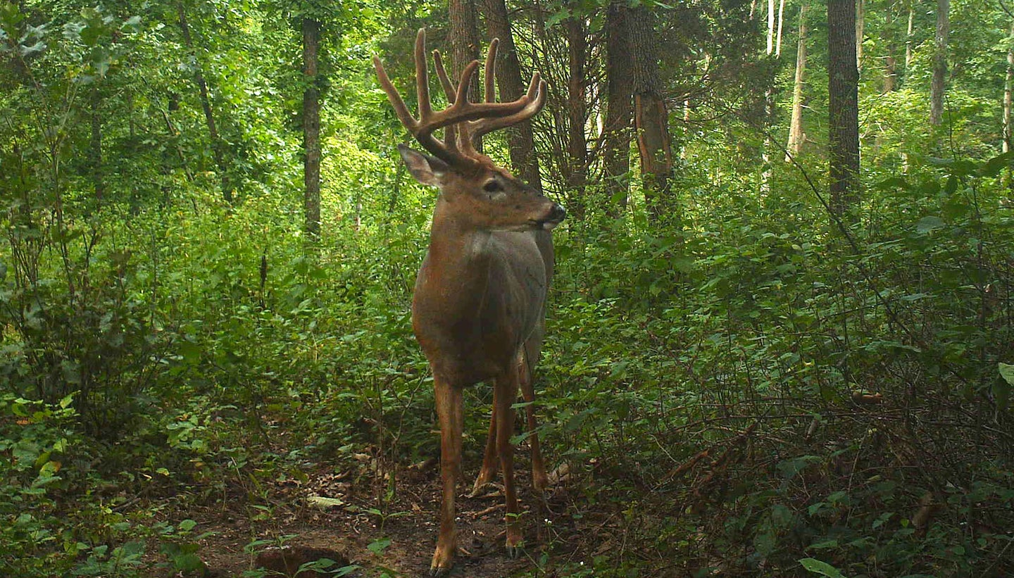 A trail camera photo of a nice, big whitetail buck, with velvet on his antlers, in the middle of green timber with his head turned to the side.