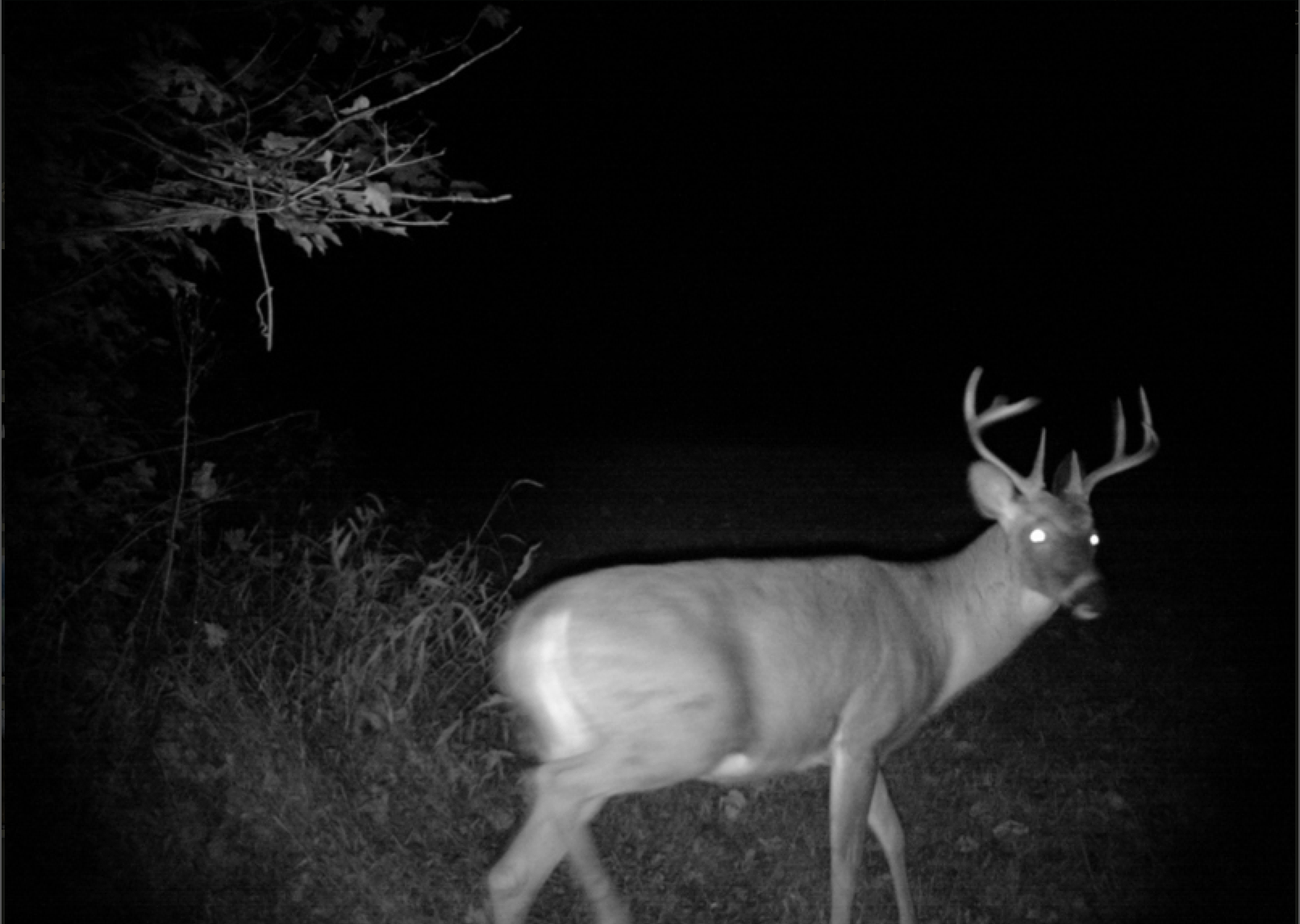 Whitetail Deer: Track the Rut by Interpreting Buck-Doe Chases