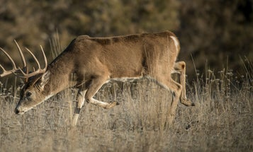 10 Myths About Whitetail Deer Movement