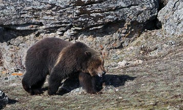 This Just In: Feds Plan to Delist Yellowstone Grizzlies—and Hunting Is a Possible Management Option