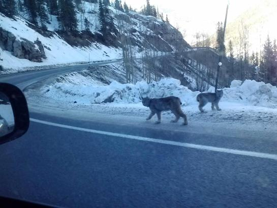 Rare Lynx Photo From Colorado Goes Viral Online