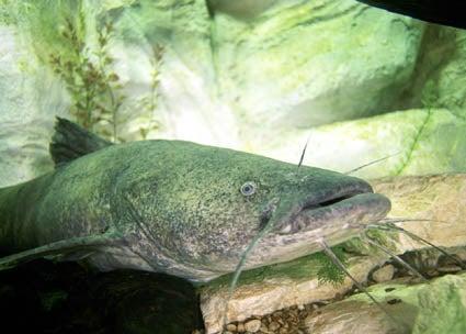 httpswww.outdoorlife.comsitesoutdoorlife.comfilesimport2014importImage2009photo3flathead-catfish.jpg