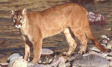 Killer Cougars