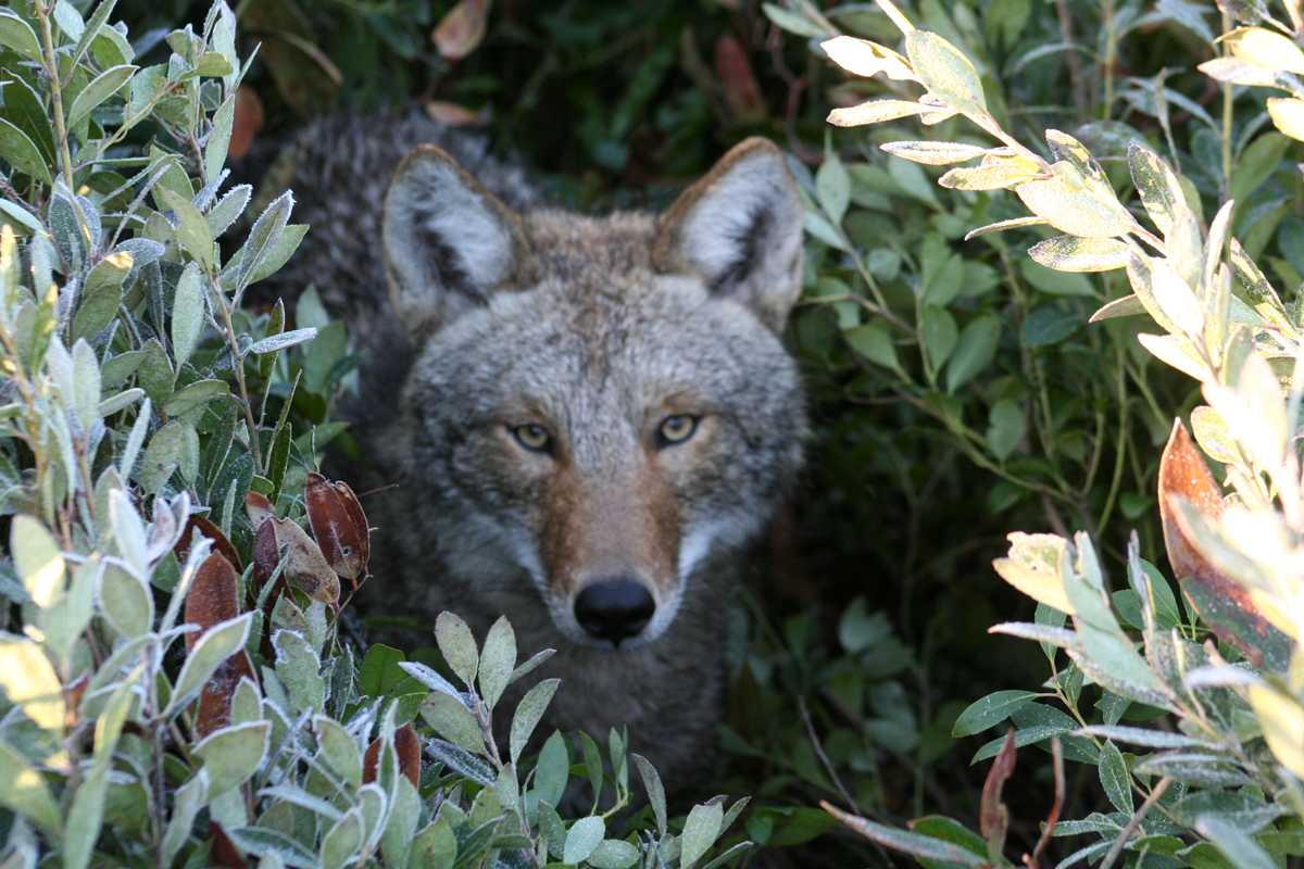 Coyote Study Reveals Half of Canines are Residents, Half are Transients