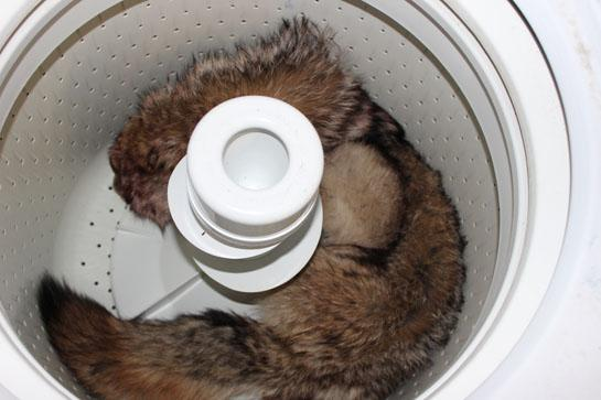 Varmint Hunting Tips: Clean a Coyote Hide with Your Washing Machine