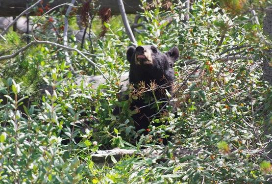 Black Bear Hot Spots