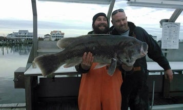 How To Catch a Pending World-Record Tautog Like This One