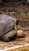 Pinta Tortoise Goes Extinct, Conservation Efforts Increase in Galapagos
