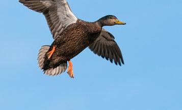 A Waterfowler's Top 10 Favorite Duck Species
