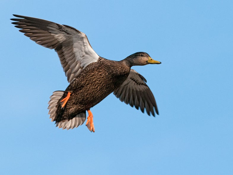black duck, duck species, types of ducks