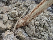 Survival Skills: How to Make a Digging Stick