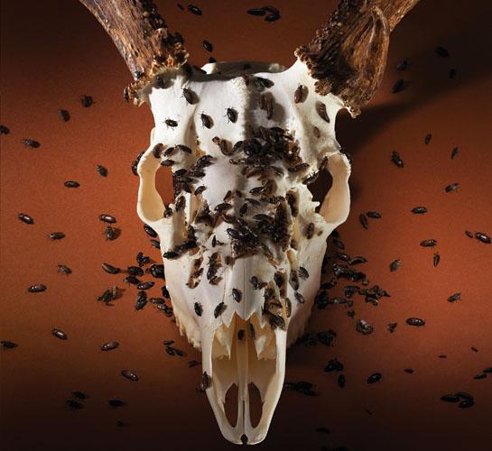 beetles on deer skull