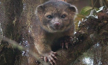 Olinguito: Scientists Discover New Mammal Species in Ecuador