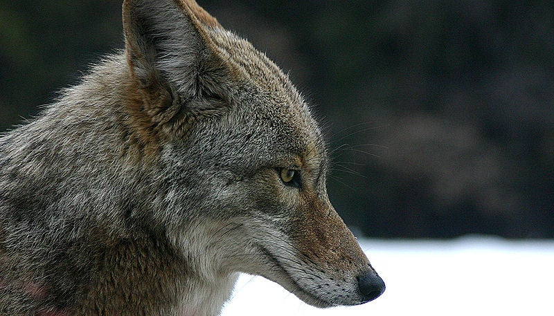 Valentine's Day: The Seasonal Grace of a Coyote Killer
