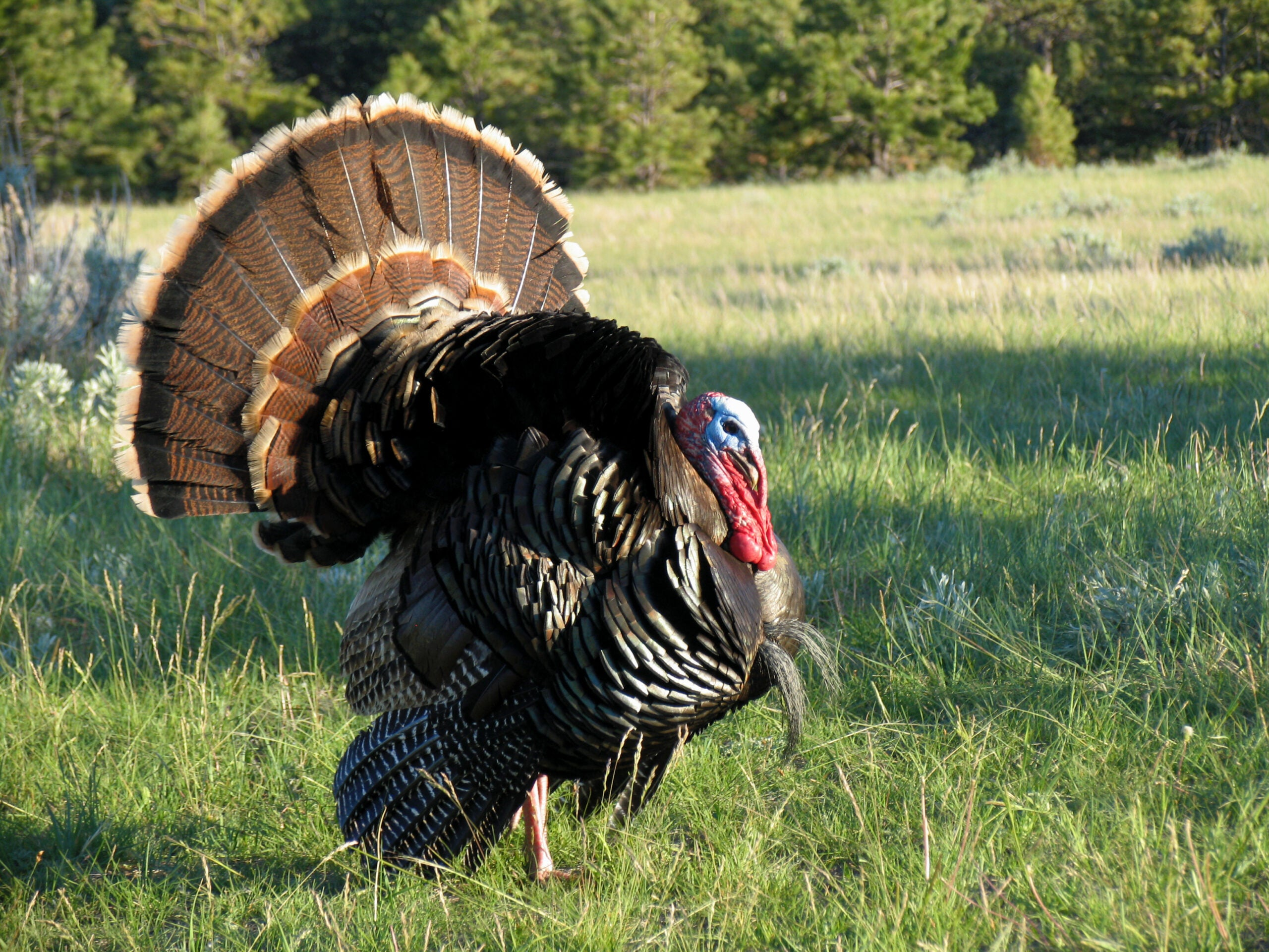 Turkey Hunting 101: Put the Sun at Your Back to Kill a Gobbler