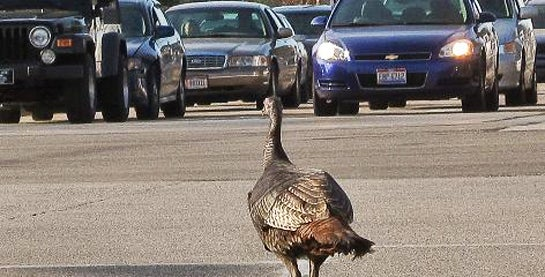 Wild Turkeys are Attacking Canadians