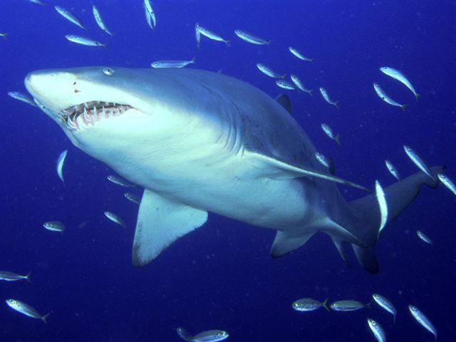 httpswww.outdoorlife.comsitesoutdoorlife.comfilesimport2014importImage2010photo3001040tiger_shark.jpg