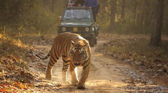 Indian Tiger Suspected of Killing 10th Victim, Evades Hunters