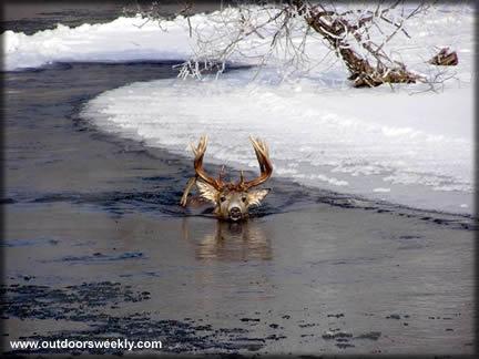 httpswww.outdoorlife.comsitesoutdoorlife.comfilesimport2013images2010098_ow_deerswim205_0.jpg