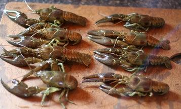 A Recipe for Wild Crayfish Etouffee