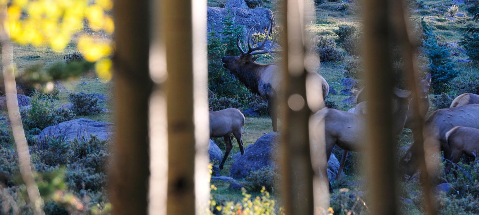 bull elk and herd behind trees