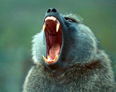 Drunken Baboons Attack!
