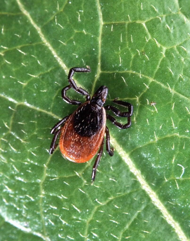 httpswww.outdoorlife.comsitesoutdoorlife.comfilesimport2014importImage2012photo1001335546deer-tick-insect-ixodes-scapularis.jpg