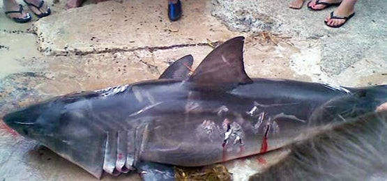 Baby Great White Shark Beat to Death in Australia